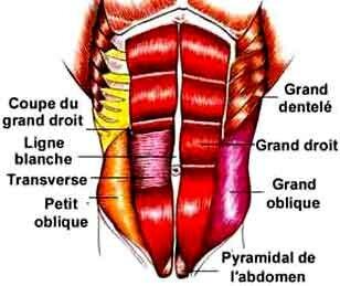 Différents muscles abdominaux internes et extérieurs